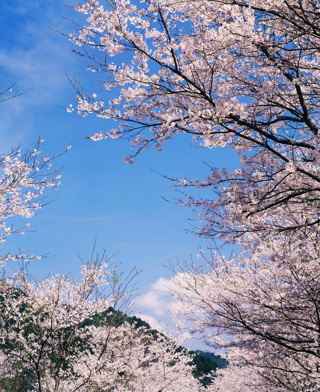 Постеры дизайн Цветение сакуры