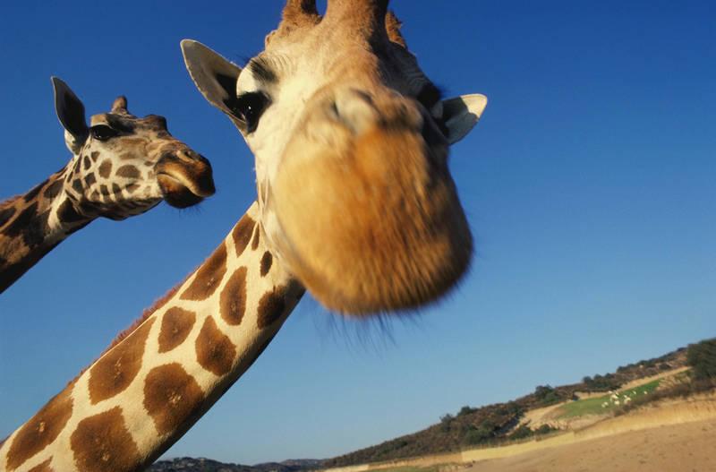Римские шторы Жираф