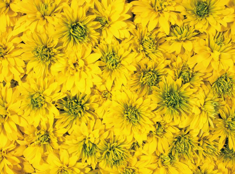 Японские панели дизайн Жёлтые хризантемы