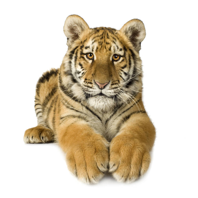Японские панели Тигр