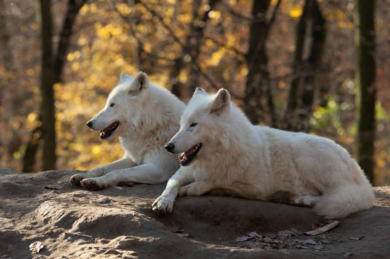 Римские шторы Волки