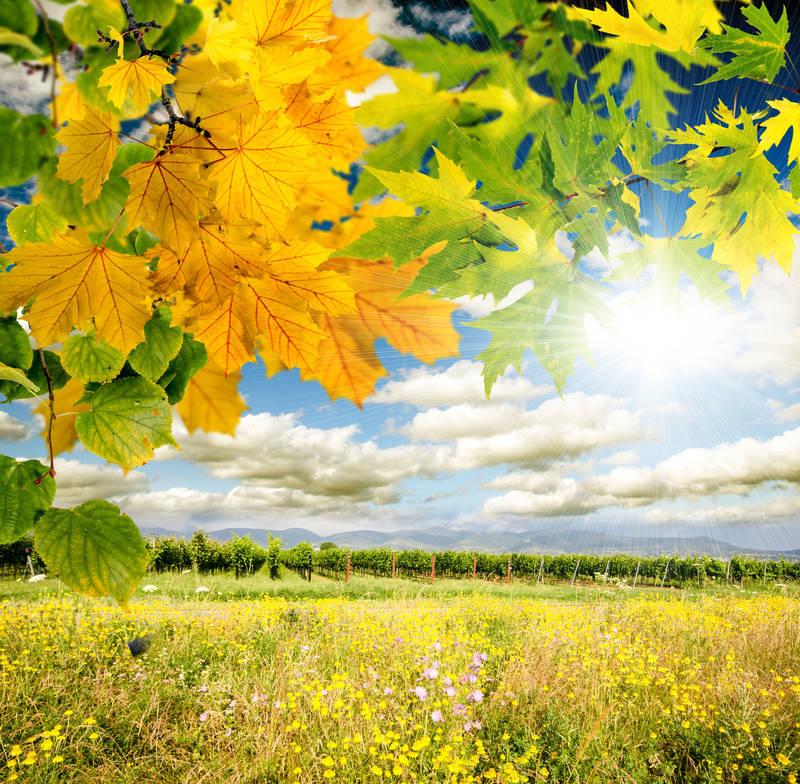 Римские шторы Осенний клен