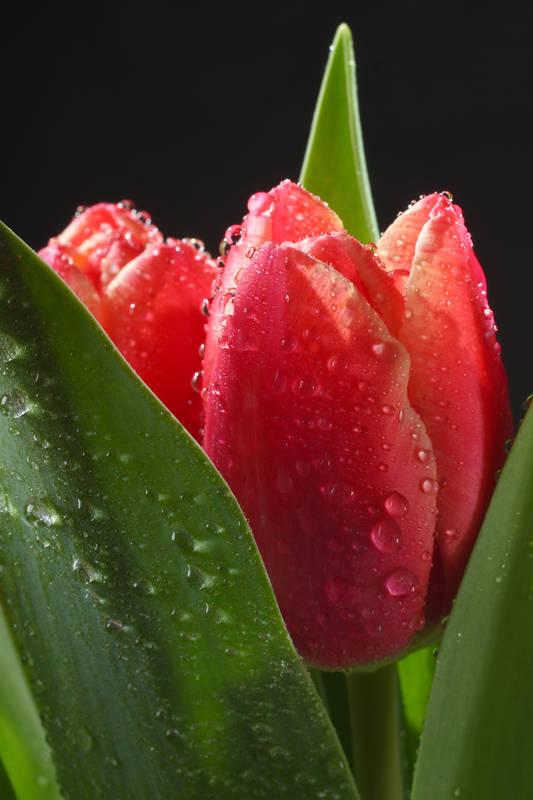 Римские шторы Красные тюльпаны