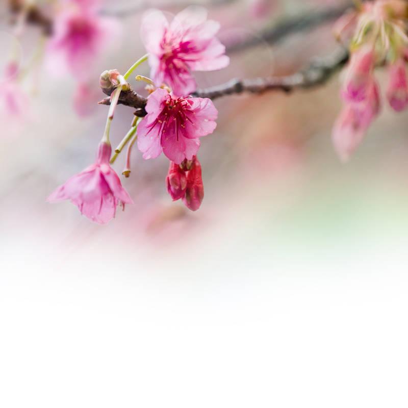 Японские панели Цветки яблони