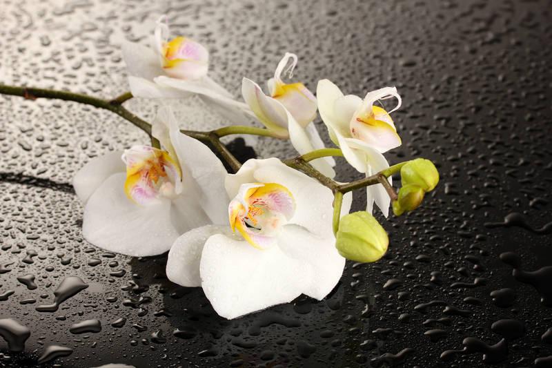 Печать на холсте Белая орхидея