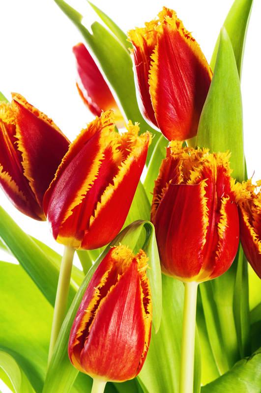 Японские панели Тюльпаны
