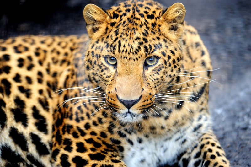 Рольшторы Леопард, дизайн #07162