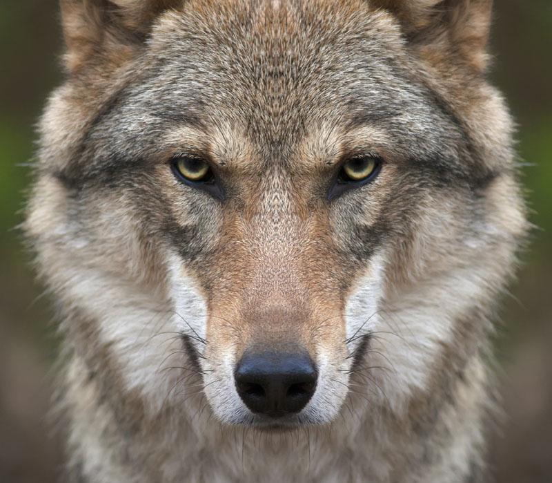 Римские шторы Волк, дизайн #07599