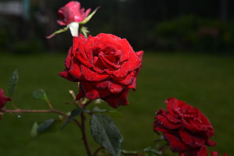 Римские шторы Красная роза, дизайн #08165